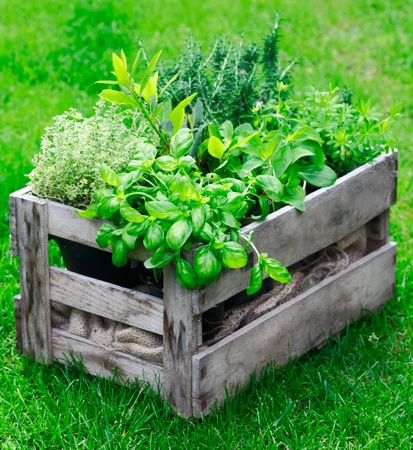 Potted plants: Rustic wooden crate on a lush garden lawn filled with fresh growing herbs as both an ornamental feature and for use in the kitchen