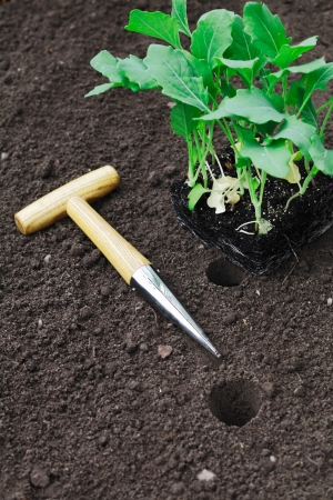 dibble: Transplanting seedlings into the garden with a smooth tapered auger for making neat holes in the soil Stock Photo