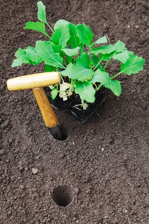 auger: Transplanting young seedlings in the garden with an auger for making neat tapered holes in the ground Stock Photo