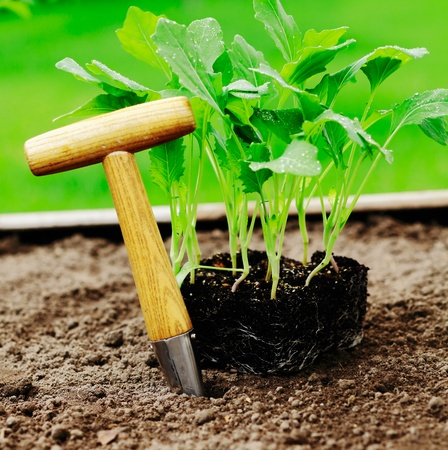 urban gardening: turnip cabbage and a Dibber in a garden patch. Stock Photo