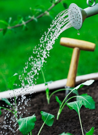 irrigate: Watering young seedlings using a watering can with a spray of waterdroplets pouring from the spout