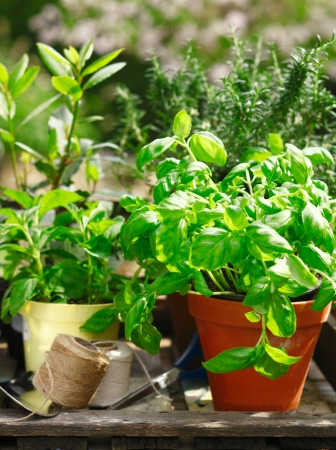 Fresh organic herbs growing in flowerpots outdoors in the sunshine with a basil plant in the foreground