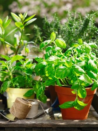 erbe aromatiche: Fresche erbe biologiche che crescono in vasi all'aperto sotto il sole con una pianta di basilico in primo piano