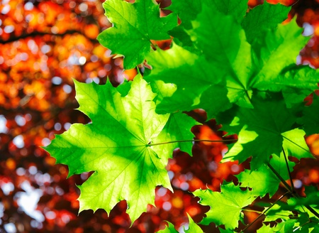 Green maple leaves in sunshine with a backdrop of orange autumn foliage photo
