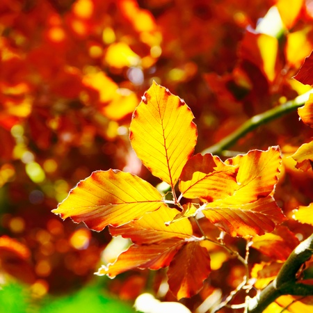 deep orange: Deep orange autumn or fall beech tree leaves in sunshine showing the vivid colours of the autumn season Stock Photo