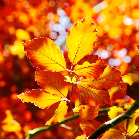 harmonious: Vivid orange autumn leaves of the beech tree backlit by the sunlight in fall