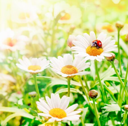 Ladybug Flower Hopper on daisies at springtime photo