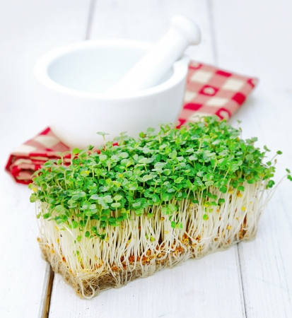 seedling growing: Indian cultivated garden Cress in front of a mortar with pestle on a checkered napkin  Herbs on a wooden background for Food ingredients concepts