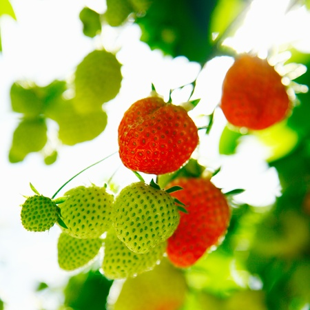spring time: Fresh green and red raw Strawberries on a plant