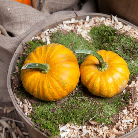Two beautiful pumpkins in a bed of moss in an old and vintage bucket, for autumn gardening concepts photo