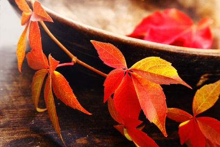 trailing: Beautiful red and yellow virginia creeper leaves trailing over a rustic pottery bowl symbolising the changing colours of autumn