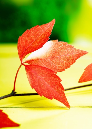 changing seasons: Closeup pf vivid red autumn or fall leaves from the virginia creeper symbolising the changing seasons