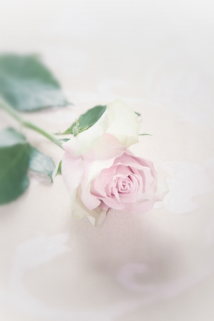 Single romantic fragile faded pink rose with selective focus to the top of the petals lying on a white studio background Stock Photo - 17322394