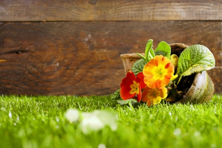 Upended flower pot with colourful orange flowers lying on its side on a neatly trimmed green lawn against a wooden wall photo