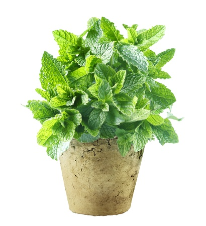 to ensure: Fresh mint growing in a flowerpot to ensure the freshest ingredients in the kitchen for cooking and garnish