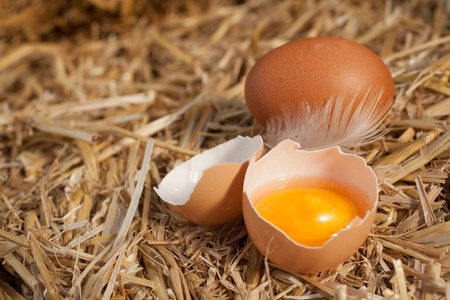 Colourful yellow yolk in a broken eggshell with a whole egg and feather nestling on a bed of clean straw with copyspace photo