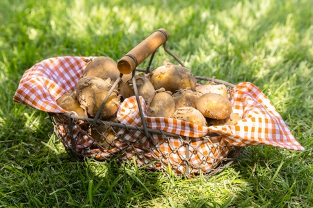 Close-up of just harvested new potatoes in a checkered cloth in a metallic basket on grass photo