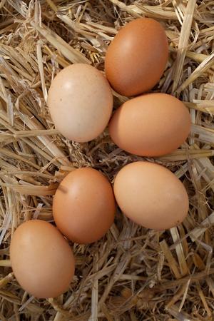 origen animal: Primer plano de huevos marrones frescos en la paja, un disparo desde un ángulo alto
