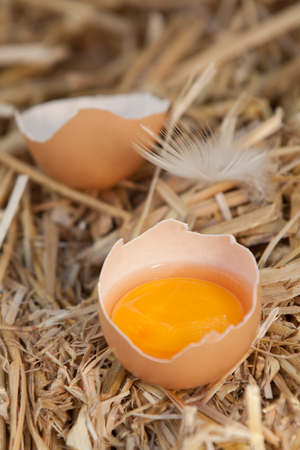 Bright colourful yellow egg yolk in a broken eggshell standing in a bed of fresh clean straw on a farm photo