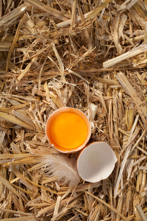 Overhead view of a cracked open hens egg revealing the yellow yolk standing on a bed of fresh clean straw with a feather and copyspace Stock Photo - 22230089
