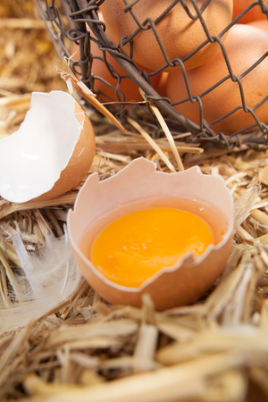 retained: Fresh egg broken open to reveal the yolk which is retained inside the eggshell as it stands on a bed of fresh farmyard straw
