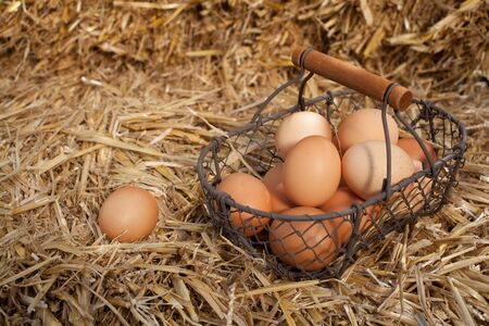 Collecting fresh farm eggs in a wire mesh basket on a bed of fresh clean straw with copyspace Stock Photo - 22230119