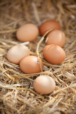 animal origin: Rustic close-up of nutritious brown eggs, on straw