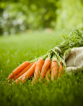 Freshly harvested organic carrots from the garden lying on a lush green lawn