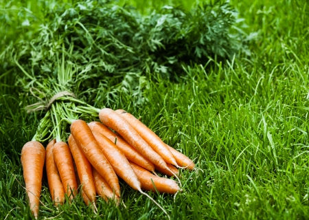 intact: Bunch of freshly harvested organic orange carrots with their leaves intact lying on lush green grass