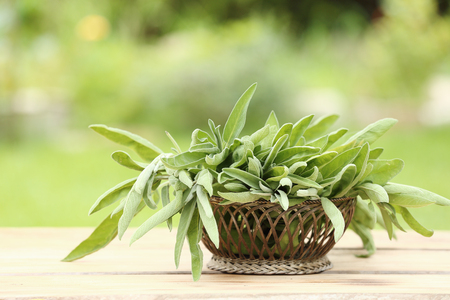 potherb: Arrangement of aromatic fresh sage, a savoury culinary potherb, in a basket on a wooden table in a summer garden Stock Photo