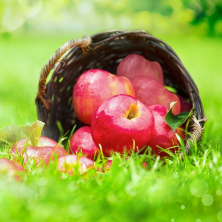 Farm fresh red apples in a wicker basket lying on its side in lush green grass, close up view with shallow dof photo