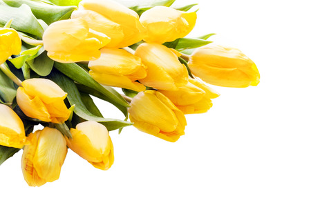 Bouquet of beautiful vivid yellow tulips lying diagonally from the top left corner on a white background with copyspace for your greeting or text