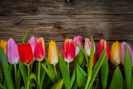 Colourful floral border of fresh tulips in red, purple and yellow arranged in a line on a rustic weathered wood background with copyspace photo