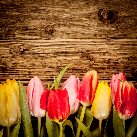 Pretty tulip border in colourful red, yellow and pink on a vintage textured wood in square format with copyspace photo