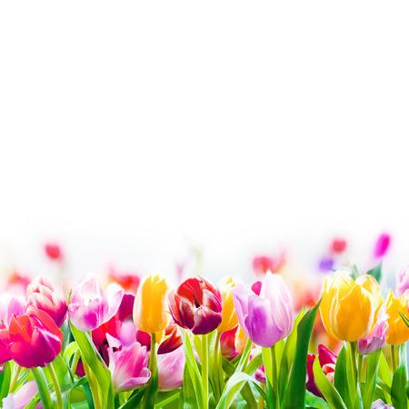 campo de flores: Campo de tulipanes de colores de primavera desvaneciendo en la distancia como un borde inferior sobre un fondo blanco con copyspace Foto de archivo