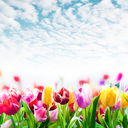 pic: Field of colourful spring tulips growing in a field under a beautiful blue sky with scattered fluffy white clouds in square format