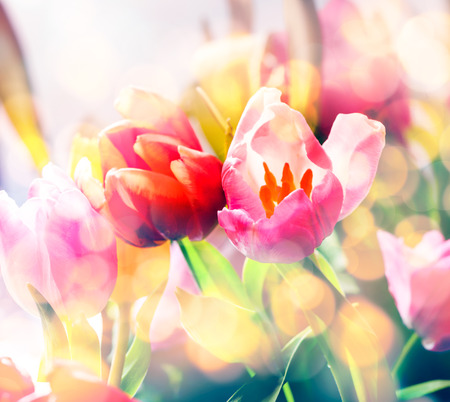 bulb tulip: Artistic faded background of colourful spring tulips with a blur effect for a dreamy botanical backdrop in square format