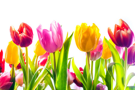 bulb tulip: Vibrant background of colourful spring tulips in red, yellow and pink with their fresh green leaves isolated on a white background