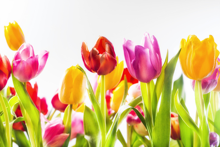 vividly: Low angle view of colourful vividly coloured fresh spring tulips in a field in red, yellow and pink with their green leaves forming a beautiful seasonal background Stock Photo