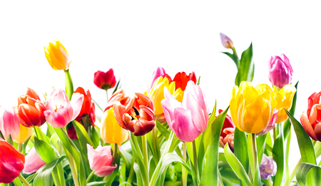 Beautiful spring background of colourful tulips in vibrant reds, yellow and pink isolated on white with copyspace Stock Photo