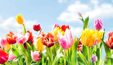 colourful sky: Beautiful botanical background of spring tulips in vibrant reds, pinks and yellow growing outdoors under a sunny blue sky in a flowerbed in a colourful seasonal garden Stock Photo