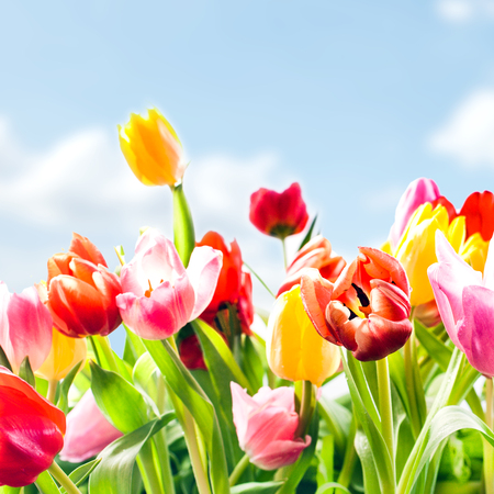 vibrant colours: Low angle closeup view of beautiful fresh tulips in vibrant colours growing outdoors under a blue sky in the spring sunshine, square format