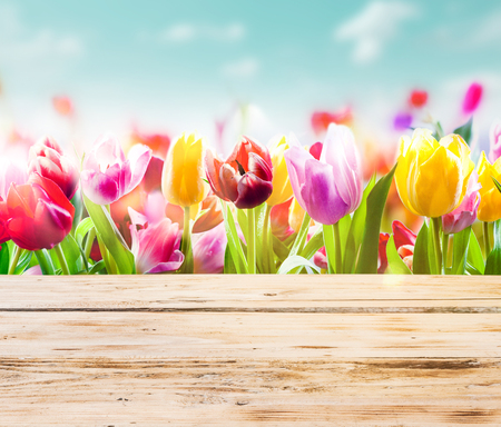 colourful sky: High key image of colourful fresh tulips growing outdoors under a sunny blue sky with empty rustic wooden boards or a tabletop in front of them