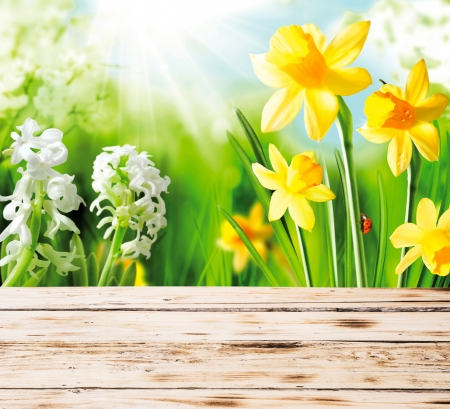 ornamental horticulture: Colourful yellow spring daffodils and hyacinths with a red ladybug on the stem peeping over the top of a rustic wooden fence or tabletop on a hot sunny day Stock Photo