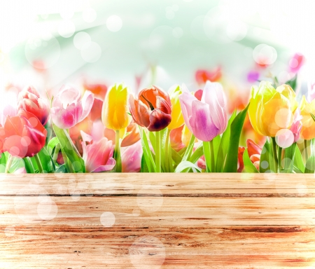 beuty of nature: Multicoloured fresh spring tulips outdoors behind a rustic wooden fence in bright sunlight with a sparkling bokeh or dancing light
