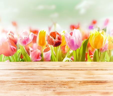 beuty of nature: Dreamy spring background of colourful tulips behind a rustic wooden fence or tabletop with a soft blur effect and focus to three flowers in the front