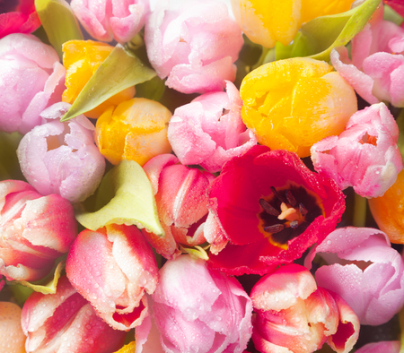 Closeup overhead view of a bouquet of beautiful fresh colourful spring tulips in square format for a seasonal background photo