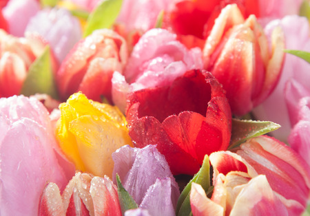 Colourful spring tulips showcasing natures beauty in a closeup seasonal background of delicate blooms photo