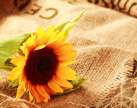 Colorful country background with a bright yellow sunflower lying on a piece of natural fiber woven burlap with copyspace photo