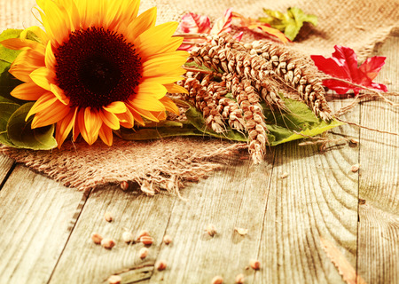 Summer or fall background with a vivid yellow fresh sunflower and freshly harvested ripe ears of wheat on a square of hessian fabric on rustic wooden boards with copyspace